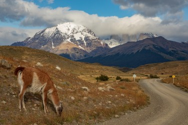 7P8A0540 Guanaco Torre del Paine NP Patagonia Chile