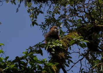 8R2A5761 Golden Monkey Mgahinga NP South Uganda