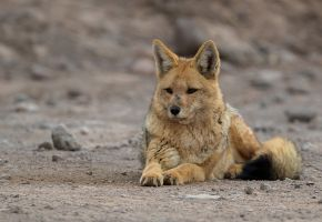 AI6I6256 Andean Fox  Andean Jackal West Cordilleres Northern Chile
