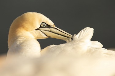 AO7I1090 Northern gannets  Helgoland  No