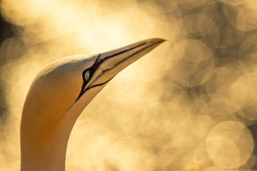 AO7I1385 Northern gannets  Helgoland  No