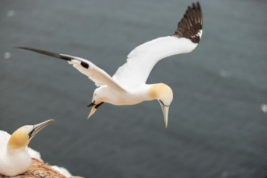 AO7I2198 Northern gannets  Helgoland  No