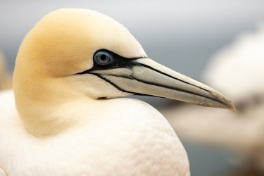 AO7I2567 Northern gannets  Helgoland  No