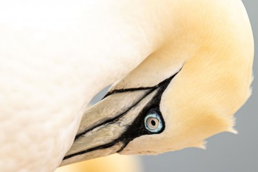 AO7I2931 Northern gannets  Helgoland  No