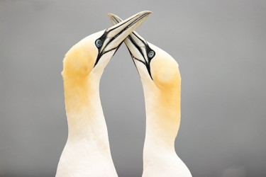AO7I3497 Northern gannets  Helgoland  No