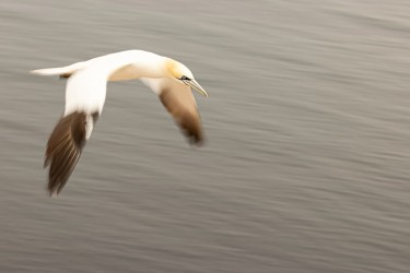 AO7I4580 Northern gannets  Helgoland  No