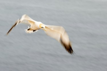 AO7I5004 Northern gannets  Helgoland  No