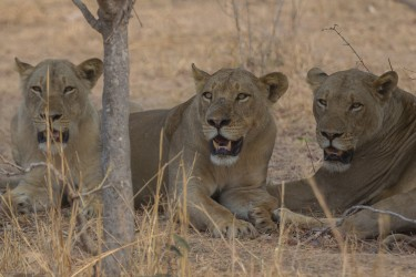 8R2A3649 Lion South Luangwe Zambia
