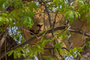 8R2A3879 Lion South Luangwe Zambia
