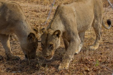 8R2A3944 Lion South Luangwe Zambia