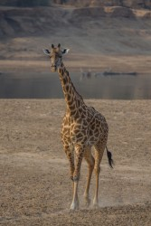 8R2A3268 Giraffe South Luangwe Zambia