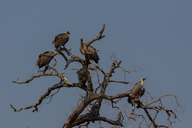 8R2A3271 ...Vulture South Luangwe Zambia