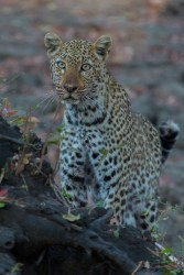 8R2A3510 Leopard South Luangwe NP Zambia