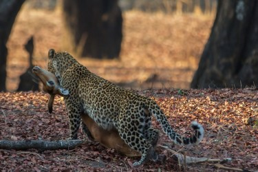 8R2A3577 Leopard South Luangwe NP Zambia