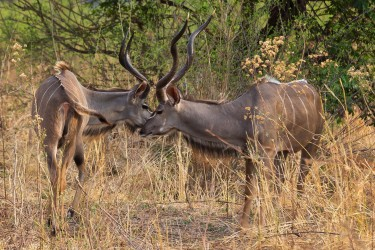 8R2A3795 Kudu South Luangwe Zambia