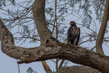 8R2A4086 ....Eagle Nsumbu NP North Zambia