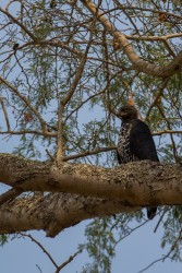 8R2A4167 ....Eagle Nsumbu NP North Zambia