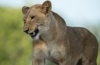 Wildlife Lion Kafue