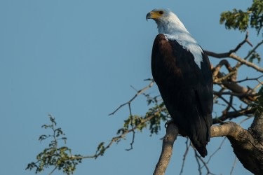 AI6I2186 African Fish Eagle Lower Zambezi NP Zambia