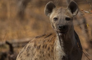 Wildlife Hyena