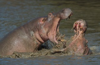 Wildlife Hippo fight