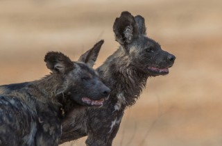 Wildlife Wild Dogs