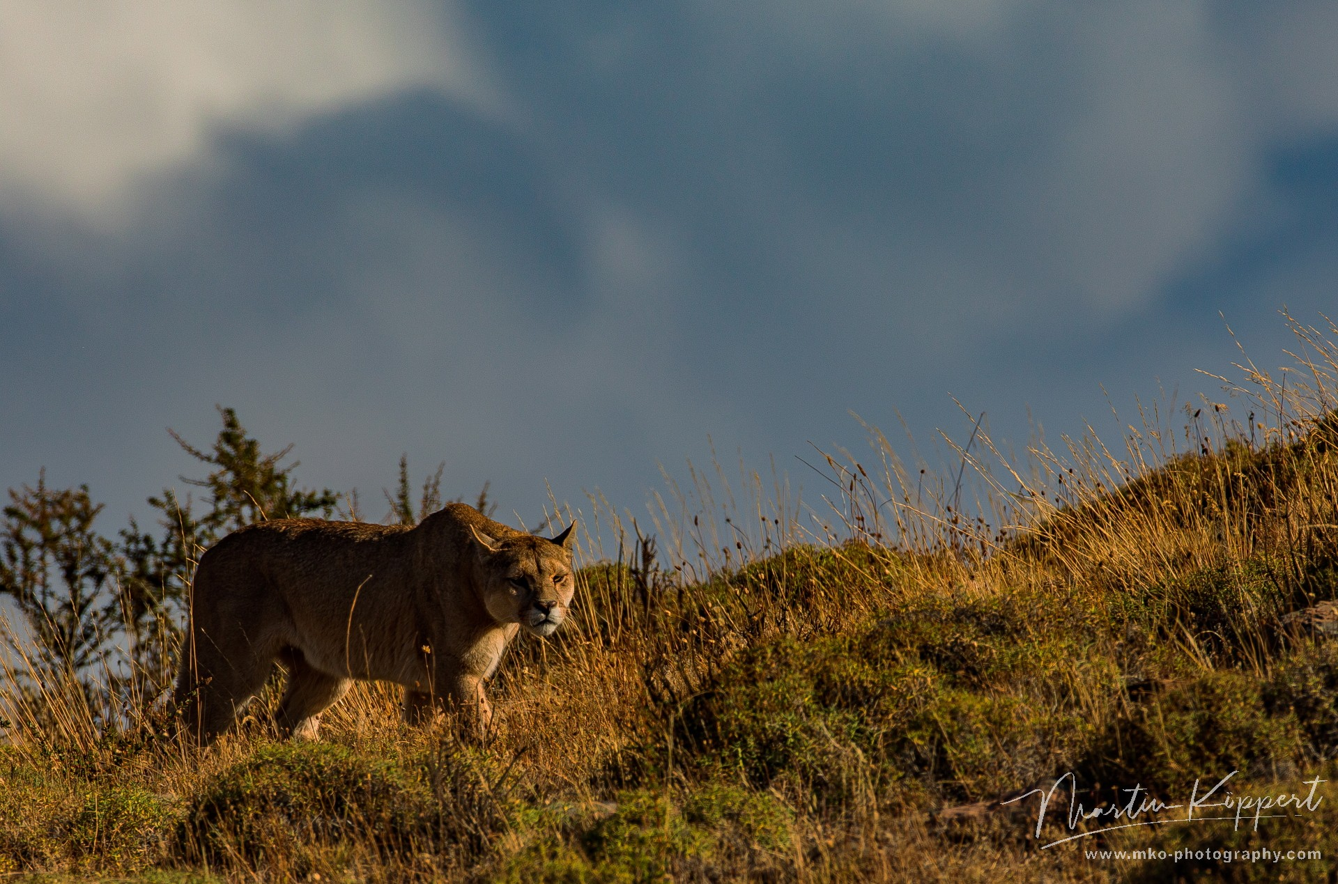 7P8A3031 Puma Sister Torre del Paine Patagonia Southern Chile