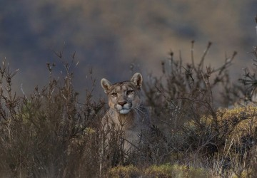 7P8A3281 Puma Petaca Torre del Paine Patgonia Southern Chile