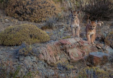 7P8A3306 Puma Petaca Cubs Torre del Paine Patgonia Southern Chile