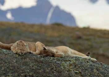 AI6I1854 Puma Rupestre Cubs Torre del Paine Southern Chile