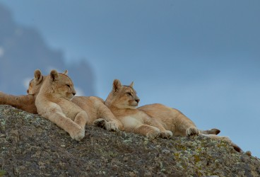 AI6I1963 Puma Rupestre  Cubs Torre del Paine Southern Chile