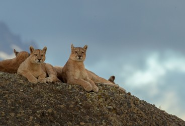AI6I2002 Puma Rupestre  Cubs Torre del Paine Southern Chile