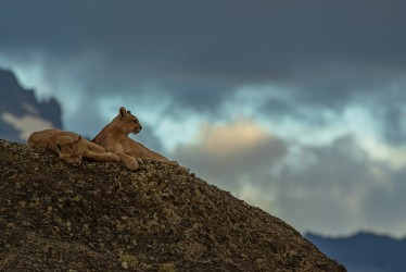 AI6I2059 Puma Rupestre Cubs Torre del Paine Patagonia Southern Chile