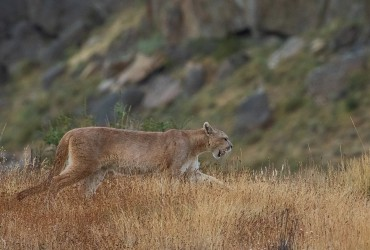 AI6I2161 Puma Rupestre Cubs Torre del Paine Southern Chile