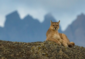 AI6I2203 Puma Rupestre Cubs Torre del Paine Southern Chile