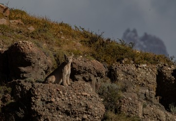 AI6I2400 Puma Rupestre Cubs Torre del Paine Patagonia Southern Chile