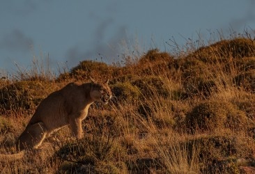 AI6I2455 Puma Sister Torre del Paine Patagonia Southern Chile