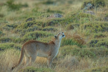 AI6I2519 Puma Rupestre Cubs Torre del Paine Southern Chile