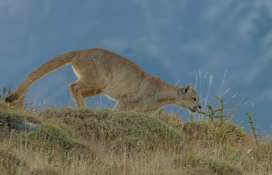 AI6I2532 Puma Rupestre Cubs Torre del Paine Patagonia Southern Chile