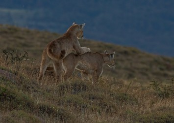 AI6I2535 Puma Rupestre Cubs Torre del Paine Southern Chile
