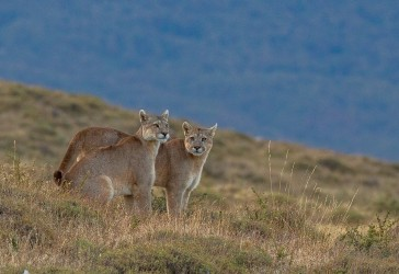 AI6I2543 Puma Rupestre Cubs Torre del Paine Patagonia Southern Chile