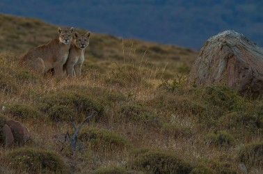 AI6I2560 Puma Rupestre Cubs Torre del Paine Southern Chile