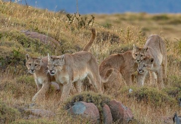 AI6I2569 Puma Rupestre Cubs Torre del Paine Patagonia Southern Chile