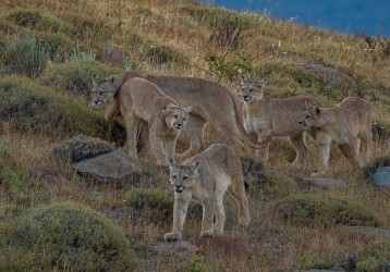 AI6I2577 Puma Rupestre Cubs Torre del Paine Southern Chile