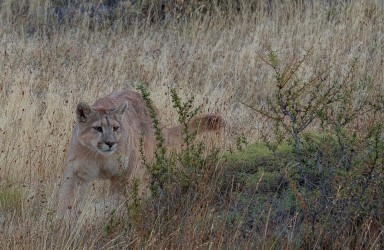 AI6I2614 Puma Rupestre Cubs Torre del Paine Patagonia Southern Chile