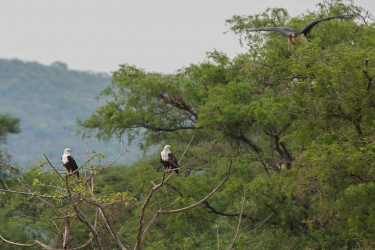 8R2A0679 Nechisar Fish Eagle 1