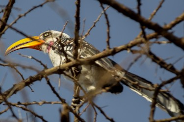 8R2A3434 Eastern Yellow billed Hornbill Awash NP Ethiopia