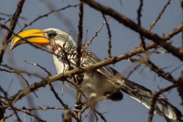 8R2A3435 Eastern Yellow billed Hornbill Awash NP Ethiopia