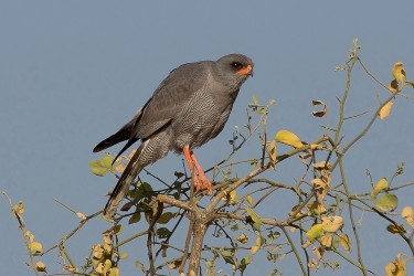 8R2A3481 Dark Chanting Goshawk Awash NP