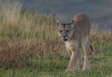 AI6I2638 Puma Rupestre Cubs Torre del Paine Patagonia Southern Chile
